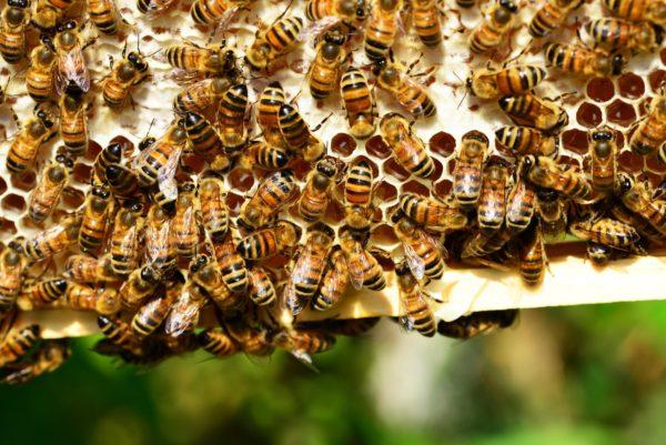Bees on Honeyframe
