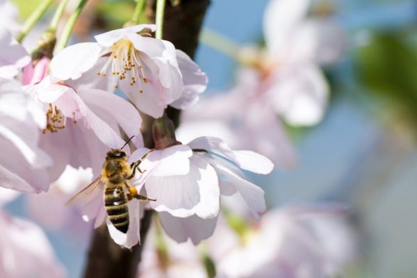 Cherry Blossom and Honey Bee