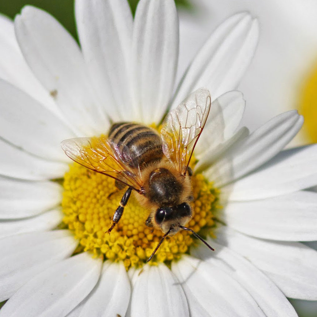 Bee on Daisy