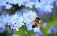 Honeybee on Forget Me Not