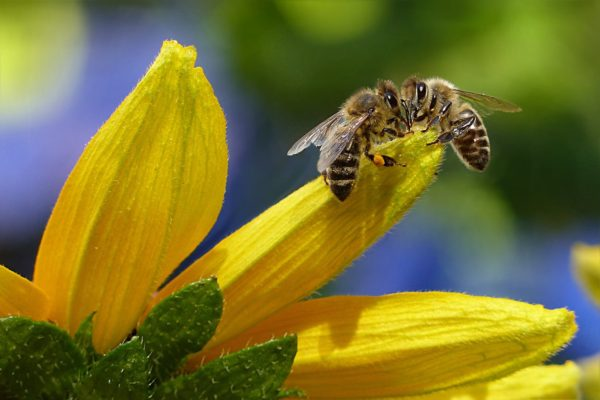 Love Bug Bees