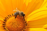 Bee on Sunflower