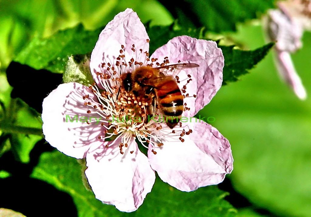 blackberry and bees