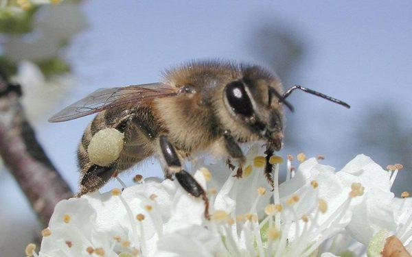 Cherry Blossom Honeybee