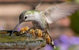 Hummingbird and Bees in Birdbath