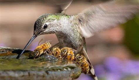 Hummingbird and Bees in Birdbath