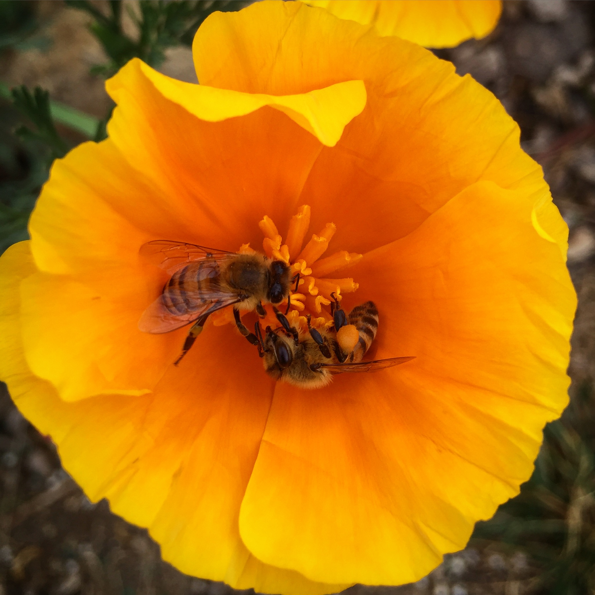 Honeybee in California Poppy