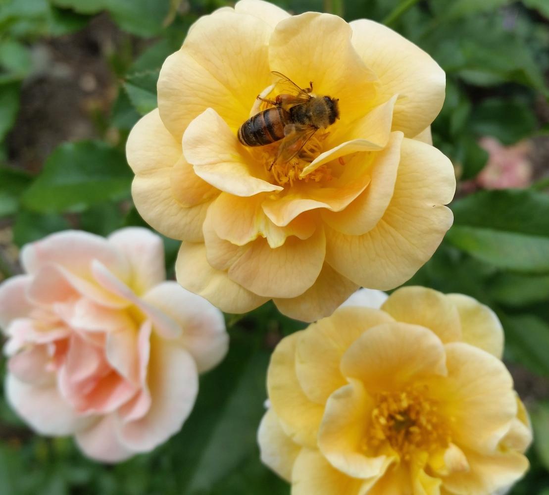 Honeybee on Roses