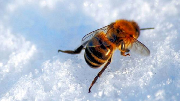Honeybee on Snow